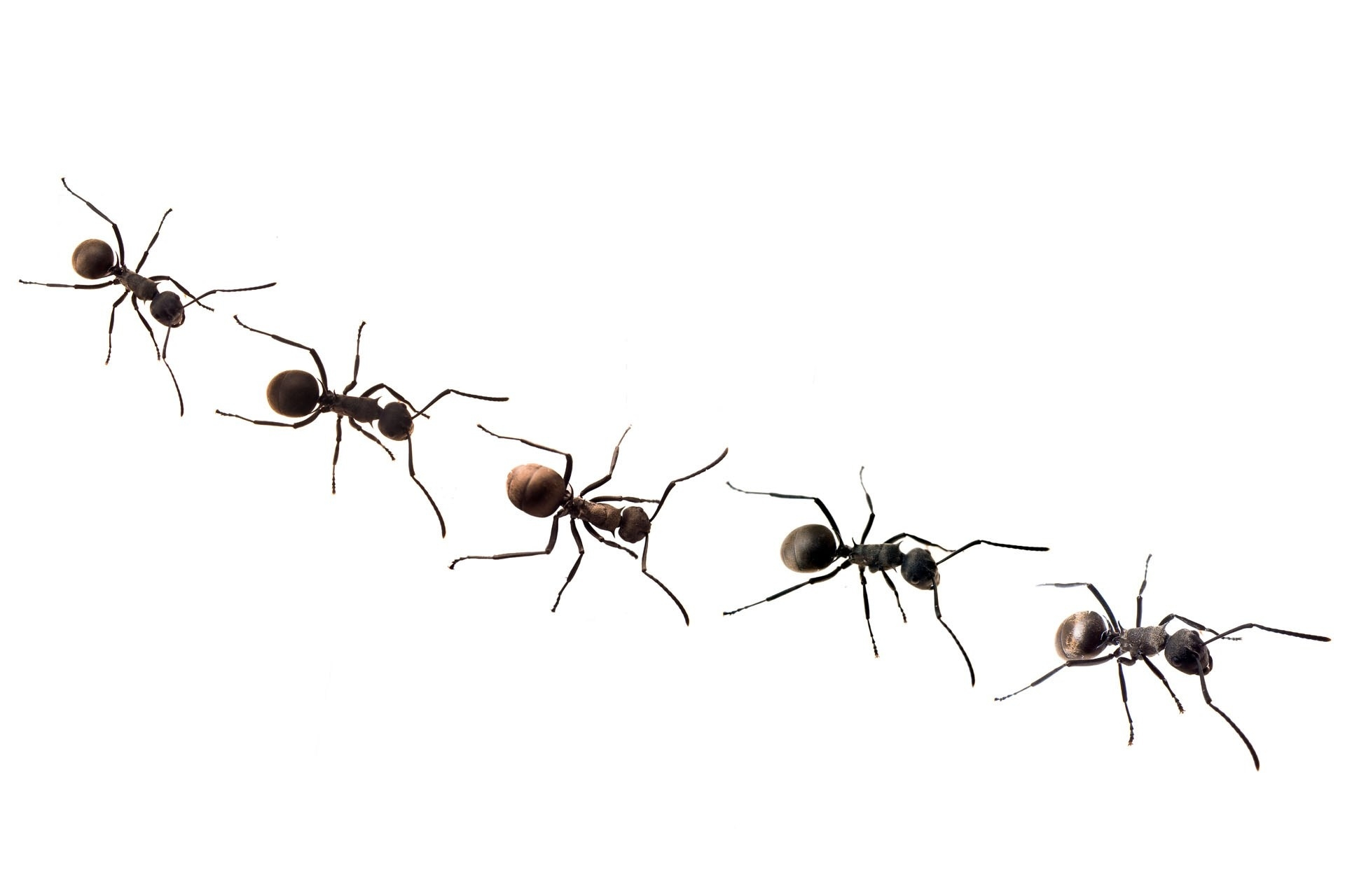 Ant clipart line. Of ants letters marching