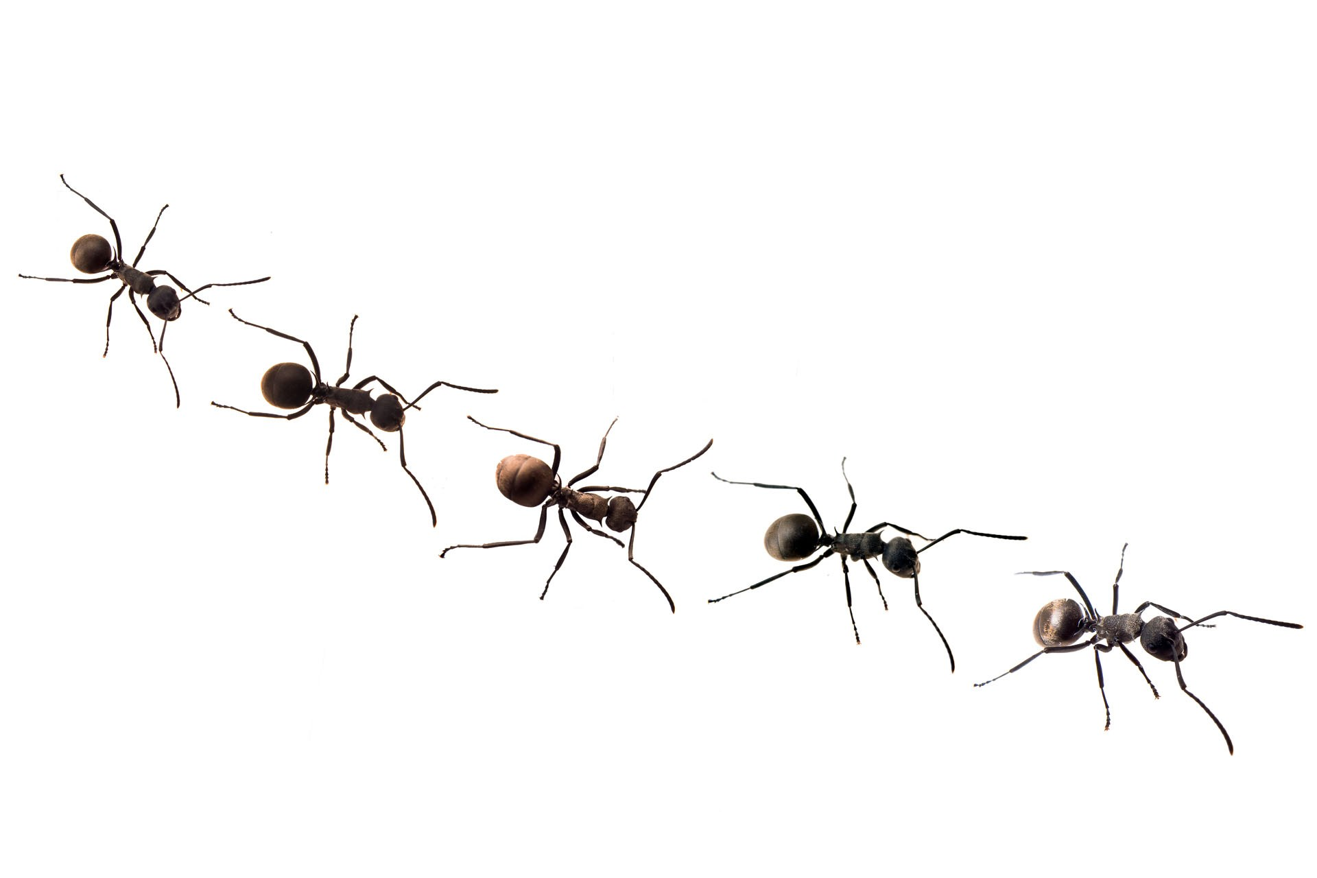 Trail the fairytale traveler. Ant clipart carpenter ant