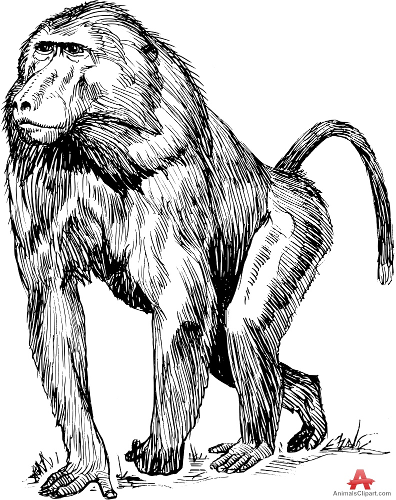 Ape clipart baboon. Drawing free design download