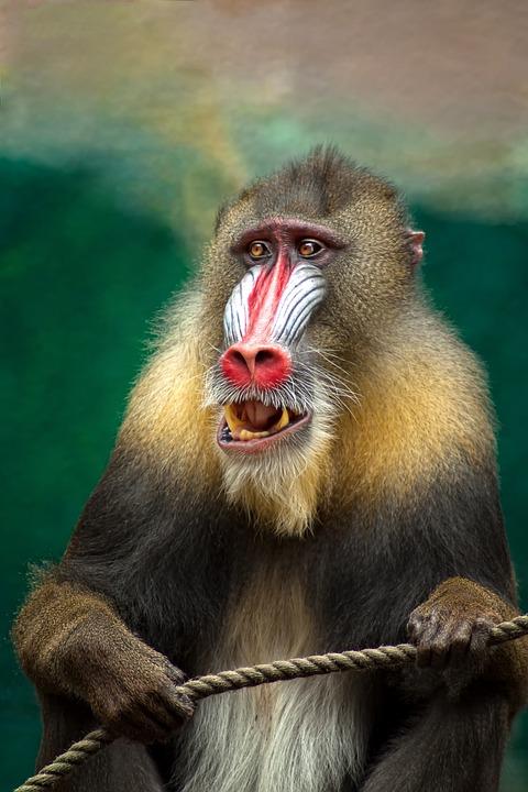 Ape clipart baboon. Free photo africa dangerous