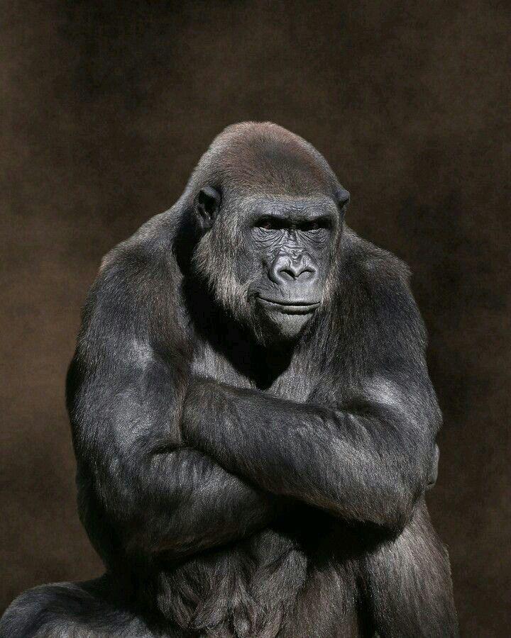 Ape clipart gorilla arm.  best images on