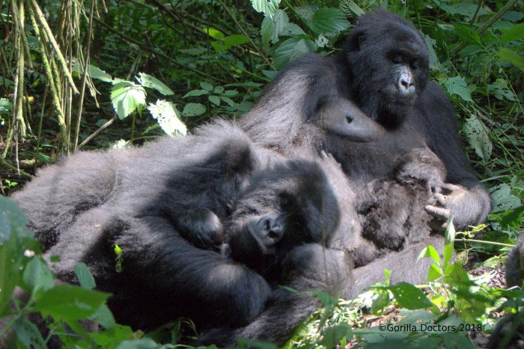 Virunga national park celebrates. Ape clipart gorilla family