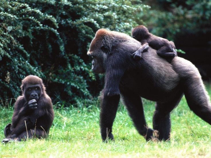 Ape clipart gorilla family.  best s images