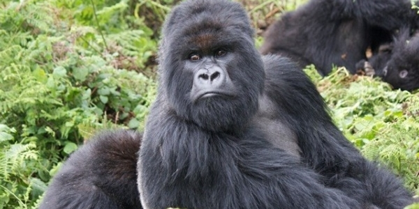 Mountain families of bwindi. Ape clipart gorilla family
