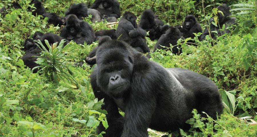 The struggle to save. Ape clipart gorilla family