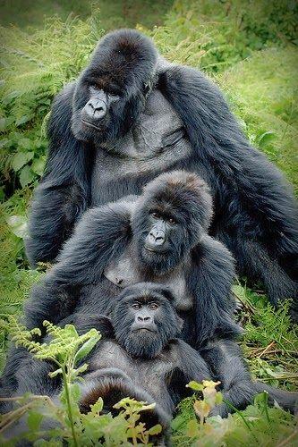 Ape clipart gorilla family.  best i gorillas