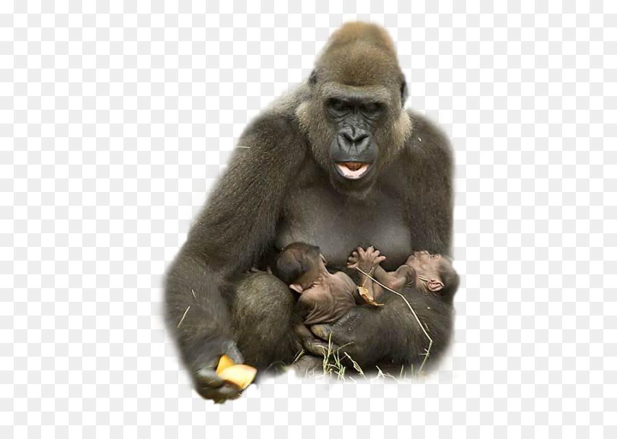Ape clipart happy. Gorilla animal harambe hug