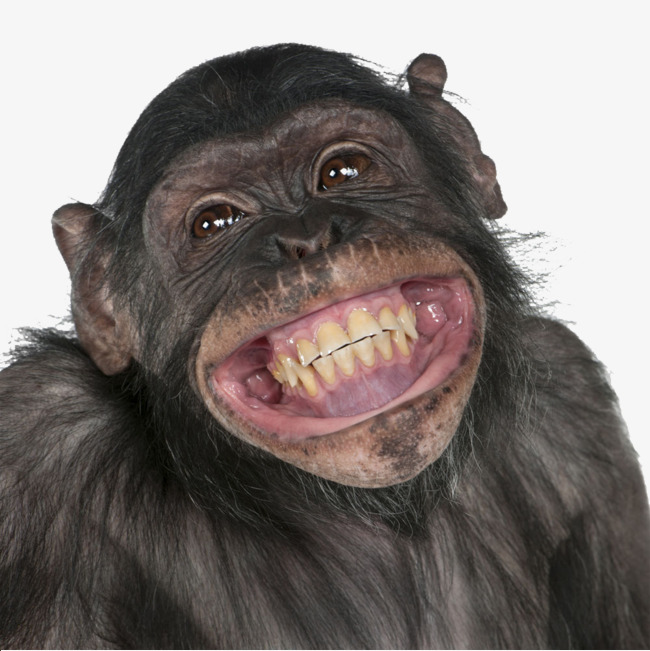Smiling chimpanzee smile png. Ape clipart happy