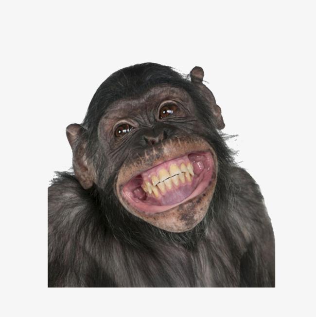 Ape clipart happy. Gorilla zoo png image