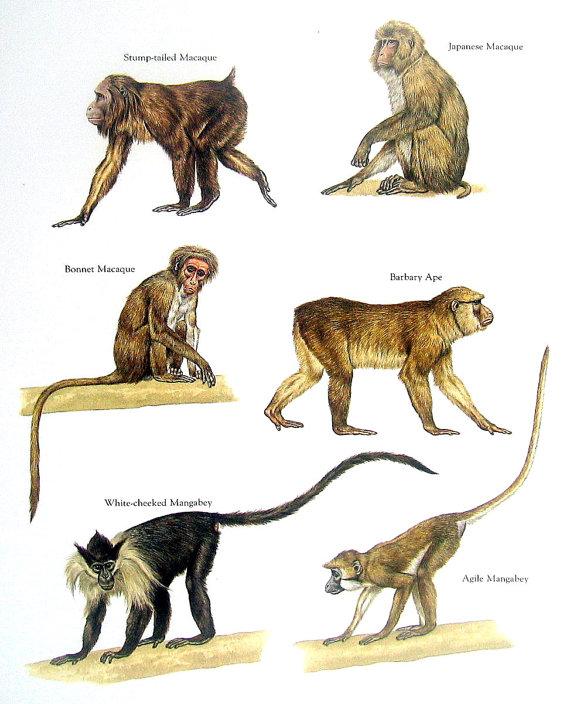 Ape clipart macaque. Old world monkeys stump