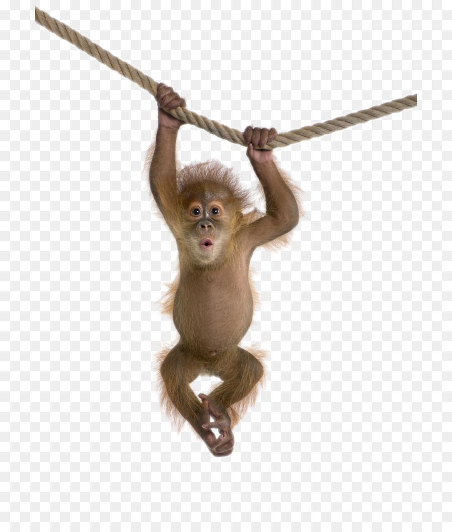 Rhesus monkey clip art. Ape clipart macaque