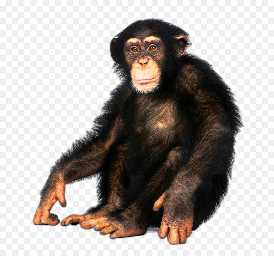 Ape clipart macaque. Japanese common chimpanzee bonobo