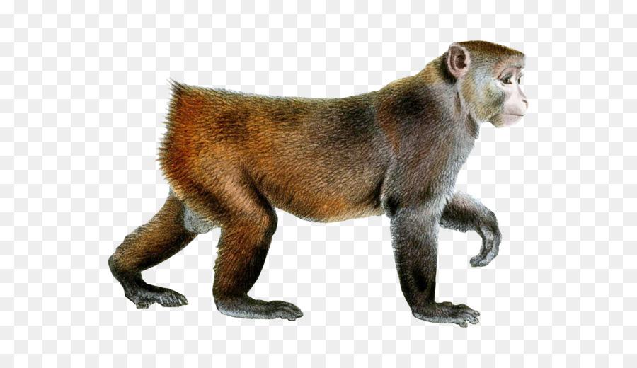 Ape clipart macaque. Monkey rhesus clip art