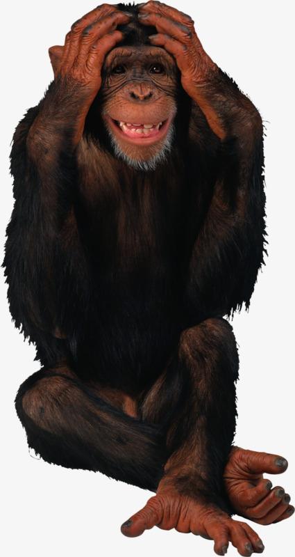 Ape clipart orangutan. Baotou orangutans sign png