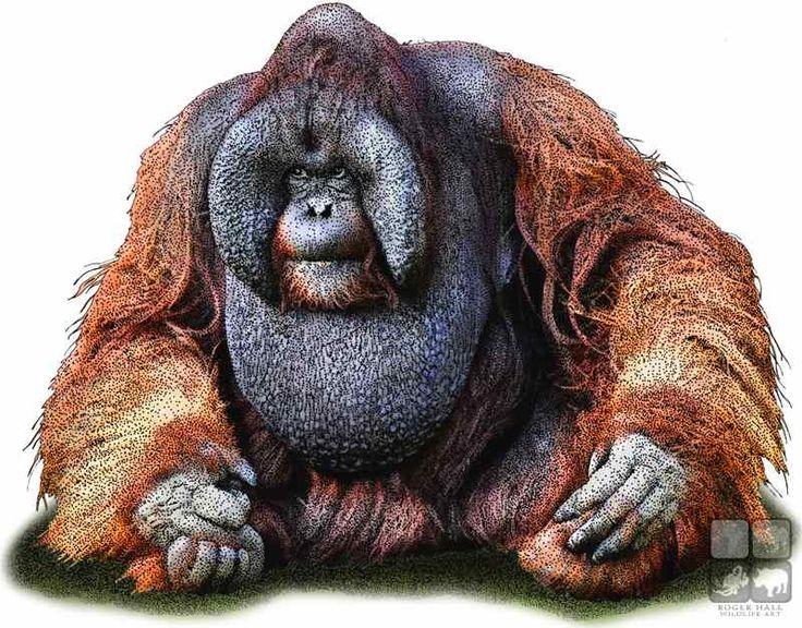 best illustrations of. Ape clipart orangutan
