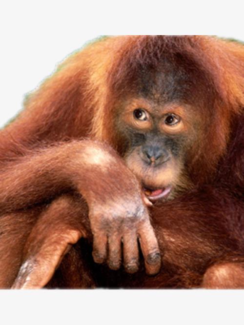 Ape clipart orangutan. Cute apes gorilla product