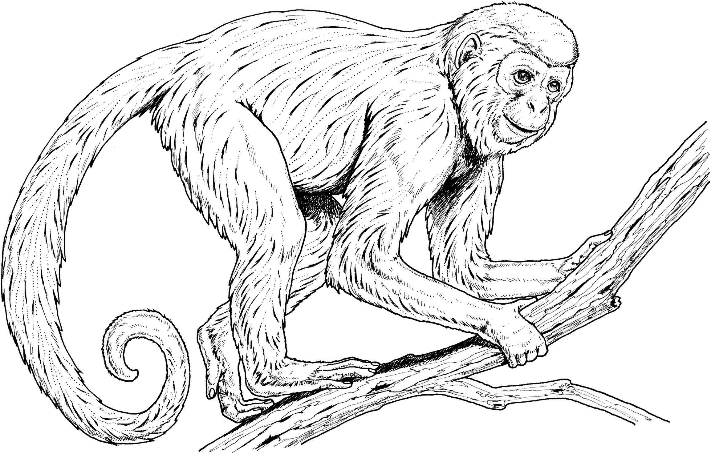 Monkey line drawing at. Ape clipart realistic