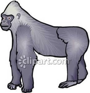Ape clipart silverback gorilla. A big royalty free