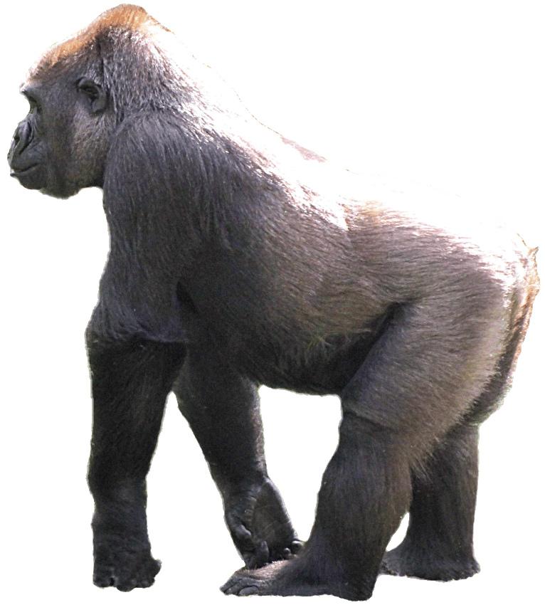 Ape clipart silverback gorilla. Lge cm this style