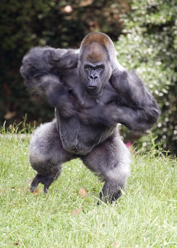 Ape clipart silverback gorilla.  best images on