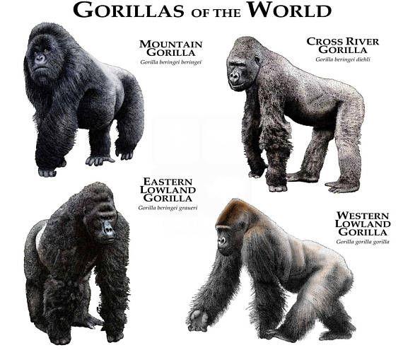 Ape clipart silverback gorilla.  best illustrations of