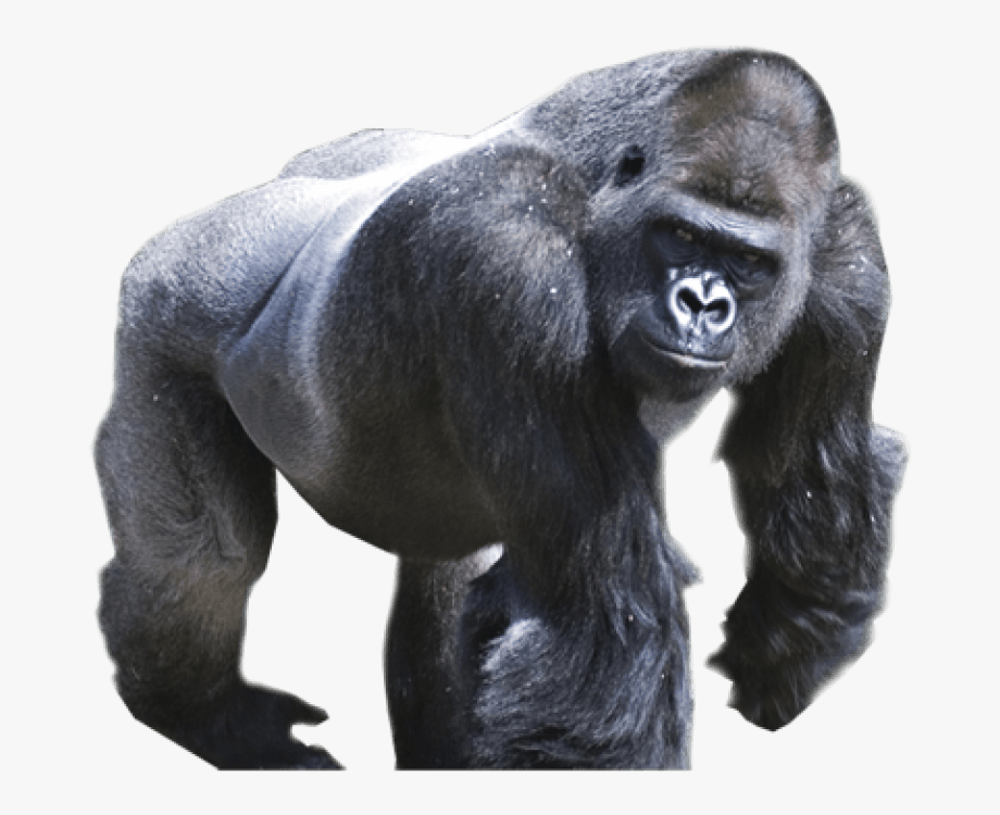 Png free images toppng. Ape clipart silverback gorilla