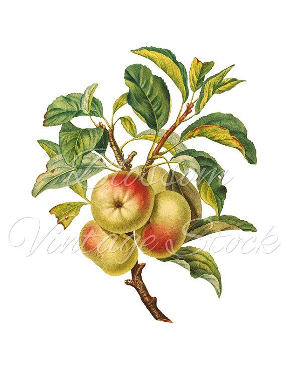 Apple png botanical image. Branch clipart vintage