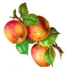 Vegetable clip art of. Apples clipart vintage