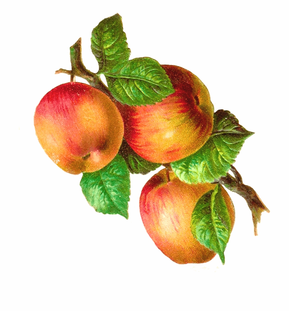 Apples clipart vintage. On a branch free