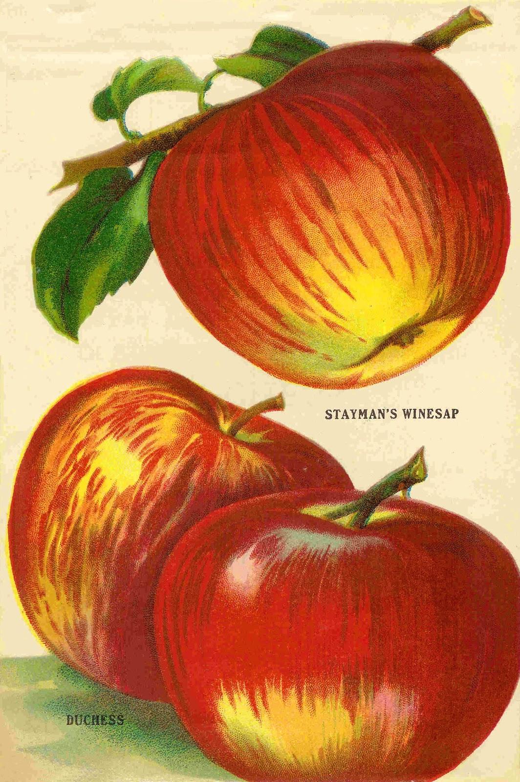 Apples clipart vintage. Antique images fruit clip