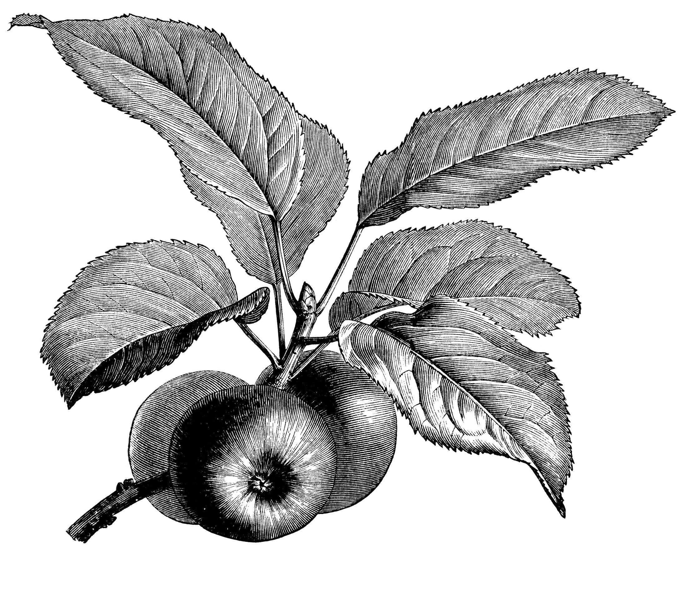 Fruiting branch of apple. Apples clipart vintage