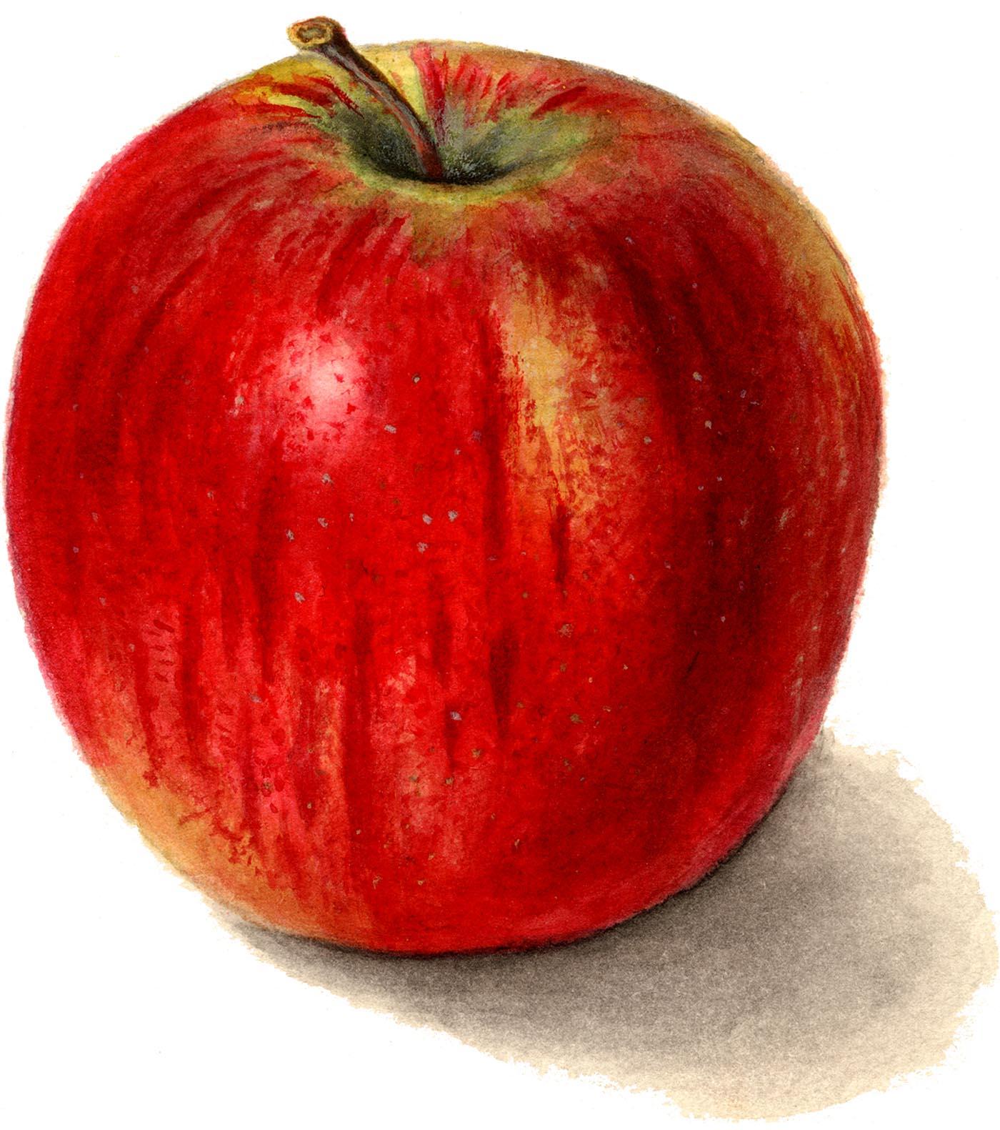 apple images clip. Apples clipart vintage