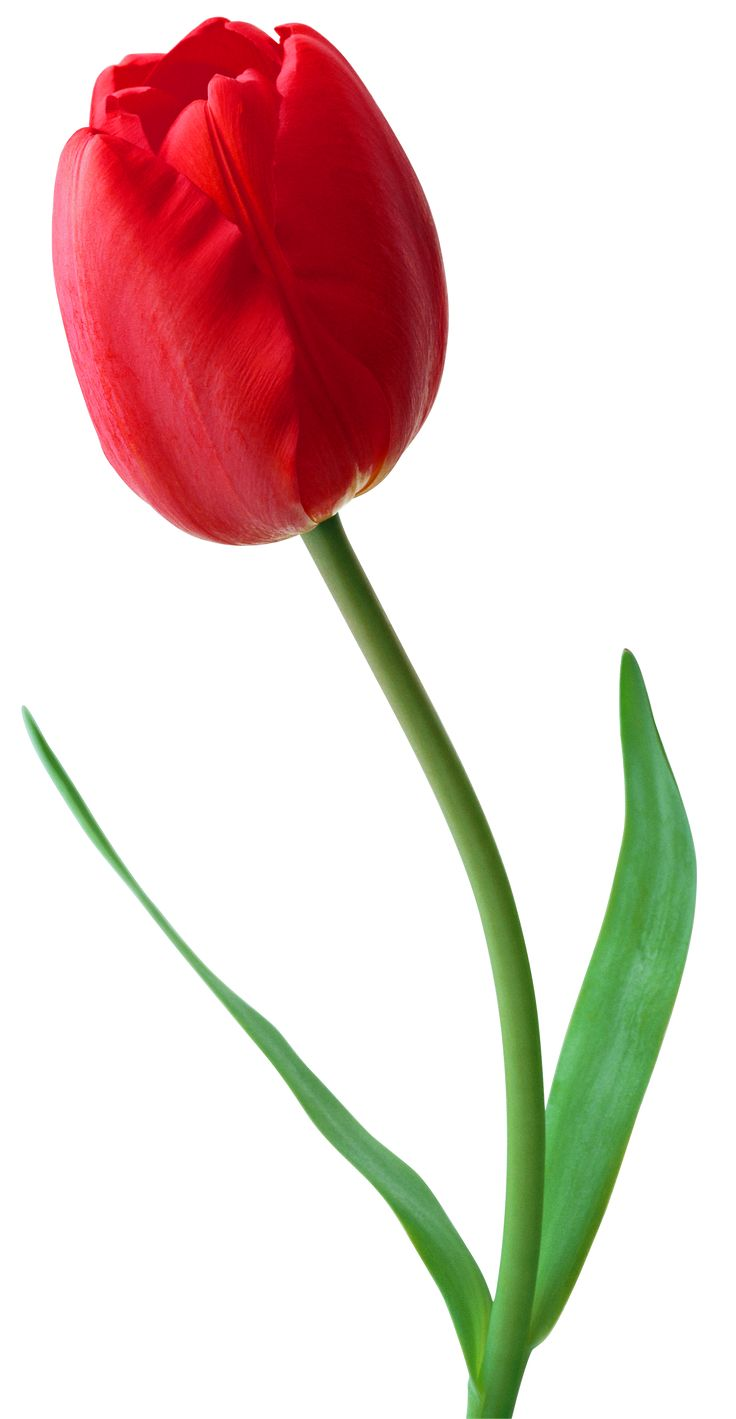 best tulips images. April clipart tulip