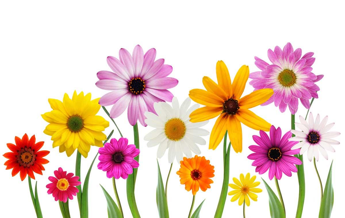April clipart wildflower. Best of pattoki plant