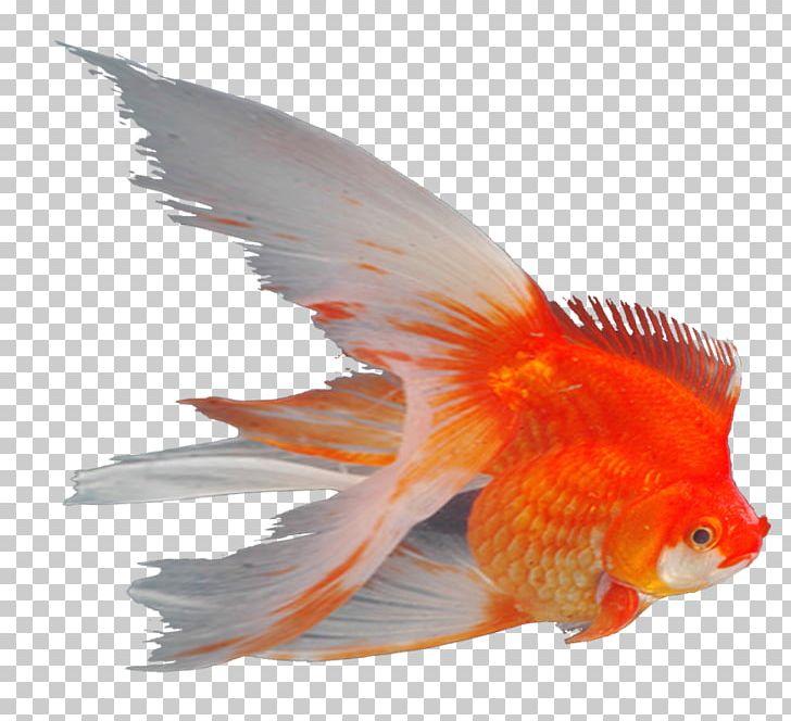 Ornamental aquarium png . Goldfish clipart fish feeder
