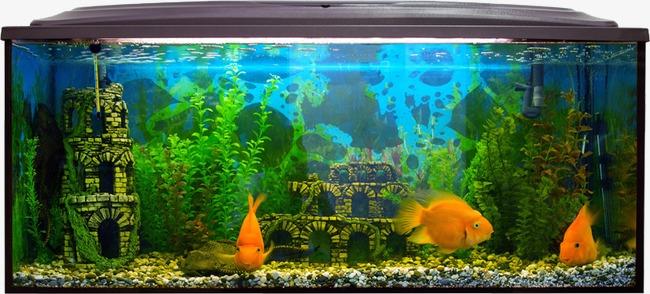 Large goldfish png image. Aquarium clipart fish tank