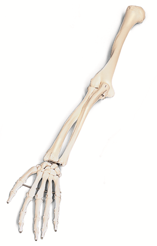 Arms clipart forearm. Skeleton arm free download