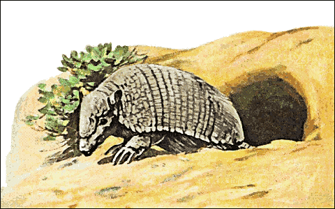 Armadillo clipart angry. Free clip art image