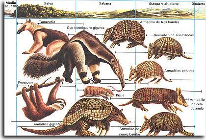 Armadillo clipart xenarthra. Taxonomy life wikia fandom