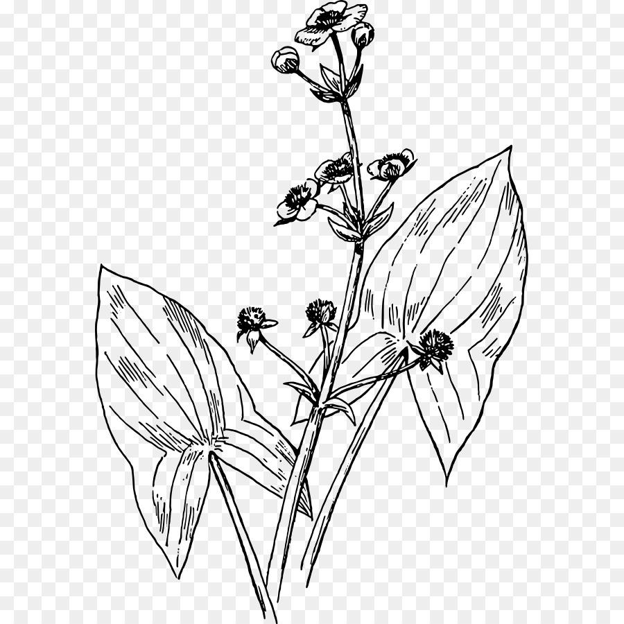 Black and white flower. Arrowhead clipart plant