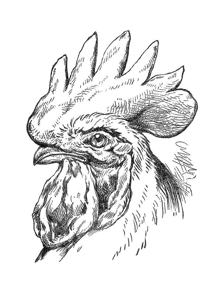 Chicken clip art rooster. Attention clipart vintage