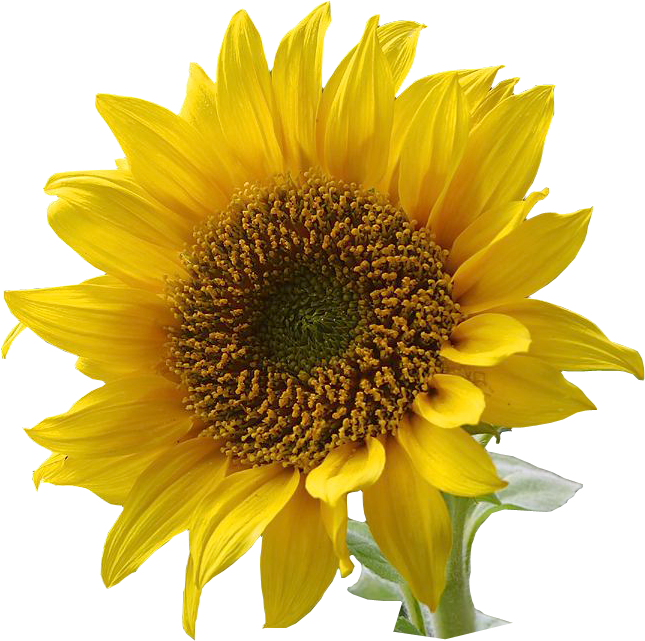 Sunflower clip art resolution. Field clipart sunflowers