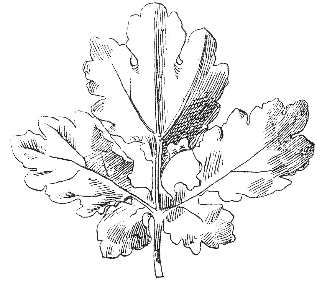 Beautiful clipart black and white. Vintage clip art leaf