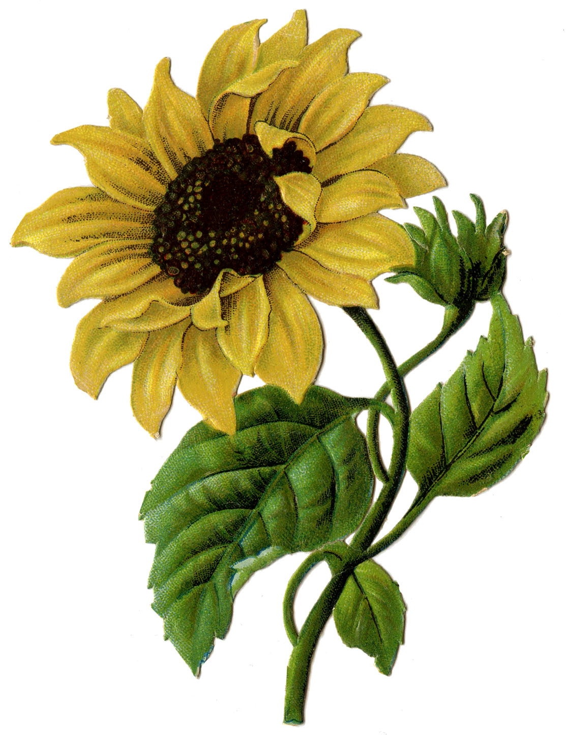 Autumn clipart sunflower. Vintage graphic beautiful the