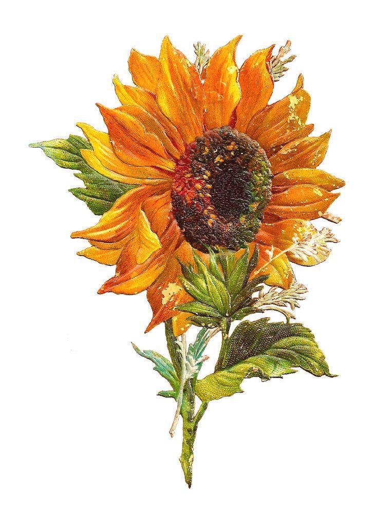 best k slune. Autumn clipart sunflower