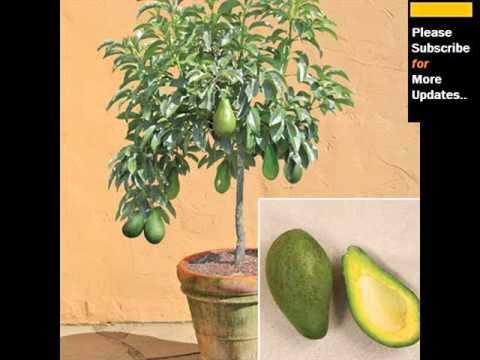 Avocado clipart avocado tree. Pictures youtube