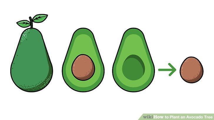 How to plant an. Avocado clipart avocado tree
