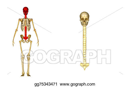 Back clipart back bone. Drawing with skull and
