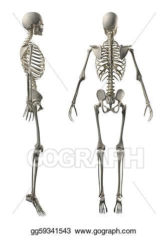 Back clipart back side. Male full skeleton and