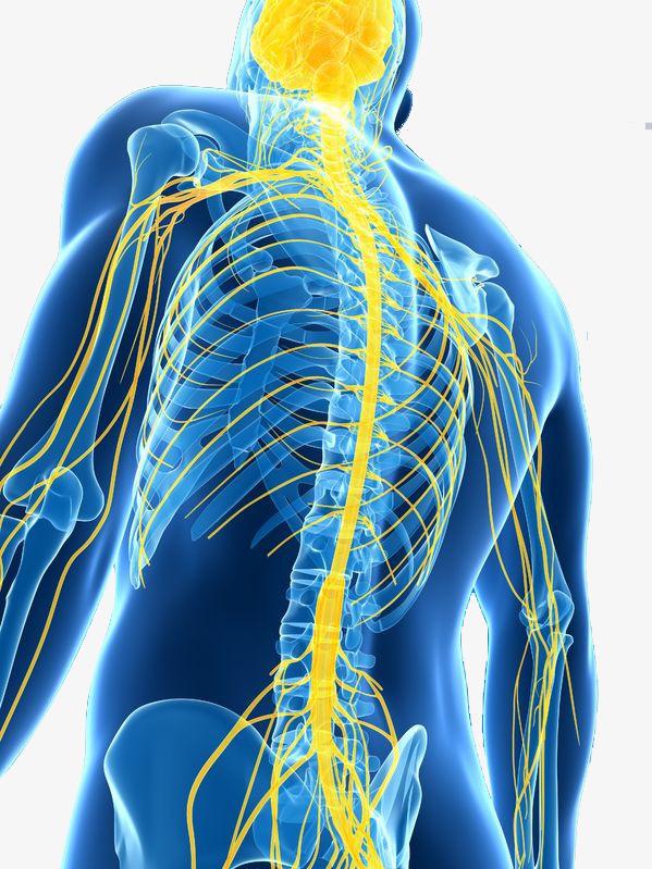 Back clipart back side. Human nervous system demonstration